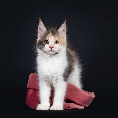 Cute little tortie Maine Coon cat kitten, standing with hind paws in pink velvet soft bag. Looking towards camera. Isolated on a black background.