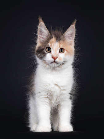 Cute little tortie Maine Coon cat kitten, standing facing front. Looking towards camera. Isolated on a black background.