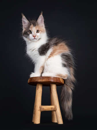 Cute little tortie Maine Coon cat kitten, sitting side ways on little wooden stool. Looking towards camera. Isolated on a black background. 版權商用圖片