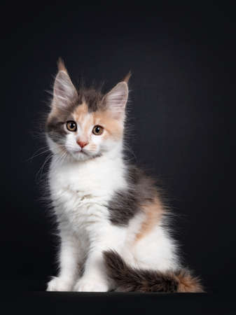 Cute little tortie Maine Coon cat kitten, sitting side ways. Looking towards camera. Isolated on a black background.
