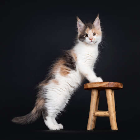 Cute little tortie Maine Coon cat kitten, standing side ways with front paws on little wooden stool. Looking towards camera. Isolated on a black background.