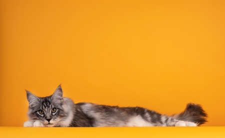 Handsome silver young Maine Coon cat, laying down side ways with head on paws. Isolated on yellow orange background.