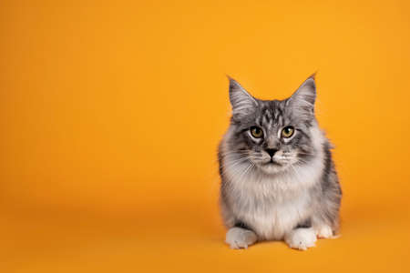 Handsome silver young Maine Coon cat, laying down facing front Isolated on yellow orange background. 版權商用圖片