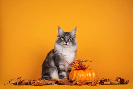 Handsome silver young Maine Coon cat, sitting inbetween dry autumn leaves and pumpkin. Isolated on yellow orange background.