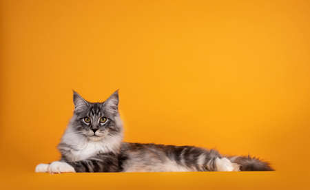 Handsome silver young Maine Coon cat, laying down side ways. Isolated on yellow orange background.