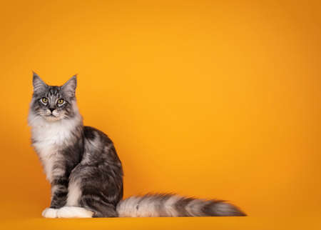 Handsome silver young Maine Coon cat, sitting side ways. Isolated on yellow orange background.