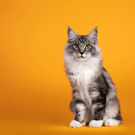 Handsome silver young Maine Coon cat, sitting up straight. Isolated on yellow orange background.