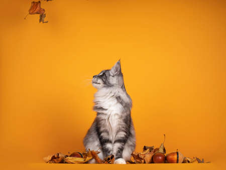 Handsome silver young Maine Coon cat, sitting inbetween dry autumn leaves and nuts. Isolated on yellow orange background. Looking side ways up to falling leaves. 版權商用圖片