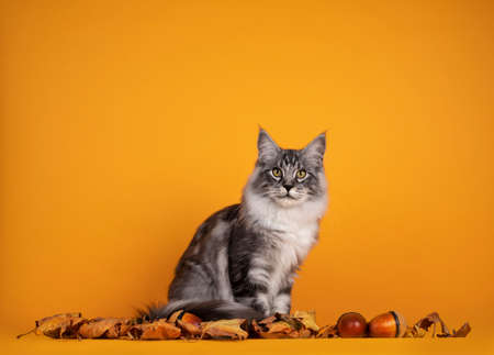 Handsome silver young Maine Coon cat, sitting inbetween dry autumn leaves and nuts. Isolated on yellow orange background.