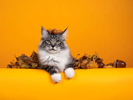 Handsome silver young Maine Coon cat, laying down inbetween brown leaves on edge. One leaf funny on his head. Isolated on yellow orange background.