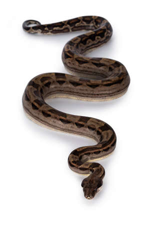 Top view of beautiful brown Boa constrictor aka Boa imperator snake, isolated on white background. 版權商用圖片