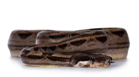 Front view of beautiful brown Boa constrictor aka Boa imperator snake, isolated on white background.