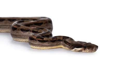 Head shot of beautiful brown Boa constrictor aka Boa imperator snake, isolated on white background.