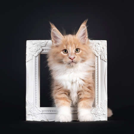Handsome creme with white fluffy Maine Coon cat kitten, standing through white photo frame. Looking towards camera. Isolated on black background.