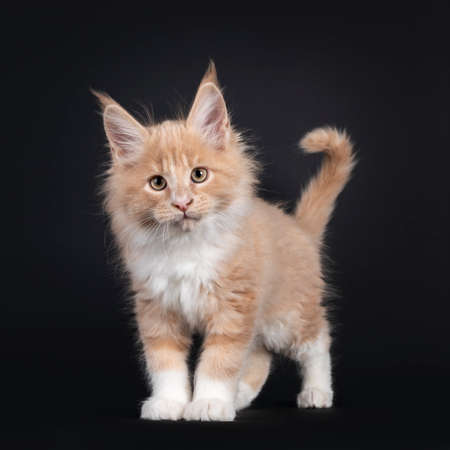 Handsome cream with white fluffy Maine Coon cat kitten, standing facing front. Looking towards camera. Isolated on black background.
