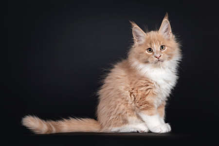 Handsome creme with white fluffy Maine Coon cat kitten, sitting side ways. Looking towards camera. Isolated on black background. 版權商用圖片
