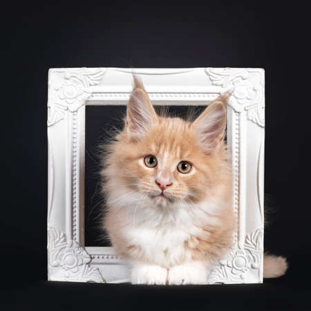 Handsome creme with white fluffy Maine Coon cat kitten, laying in / through white photo frame. Looking towards camera. Isolated on black background.