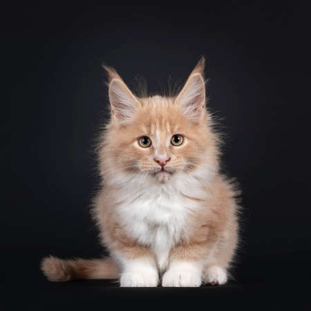 Handsome cream with white fluffy Maine Coon cat kitten, sitting facing front. Looking towards camera. Isolated on black background.