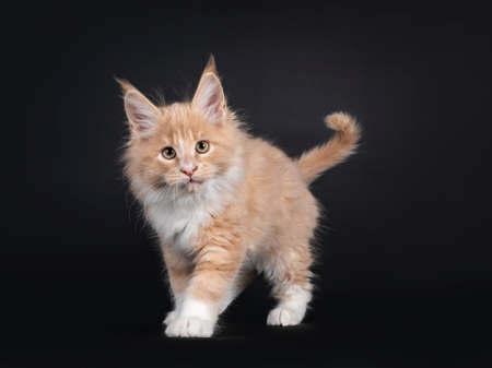 Handsome creme with white fluffy Maine Coon cat kitten, walking towards lens. Looking towards camera. Isolated on black background.