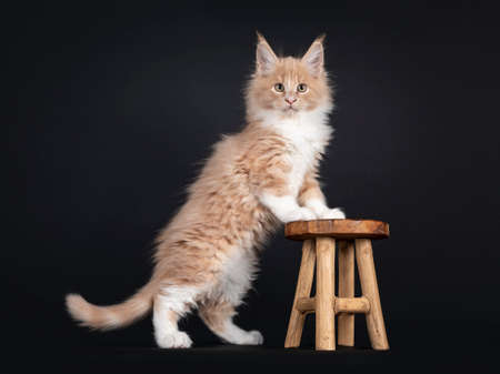 Handsome creme with white fluffy Maine Coon cat kitten, standing side ways with front paws on little wooden stool. Looking towards camera. Isolated on black background. 版權商用圖片