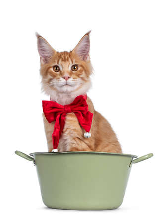 Handsome red Maine Coon cat kitten, sitting in green bucket. Wearing red velvet bow tie with bells around neck. Looking towards camera. isolated on white background.