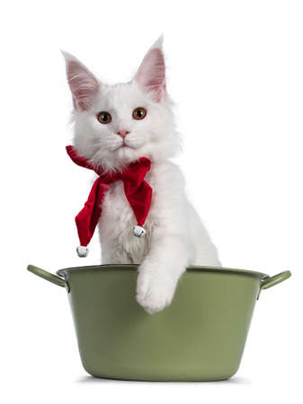 adorable solid white Maine Coon cat kitten, sitting in green bucket wearing a red bow tie with bells. Looking towards camera. isolated on white background.