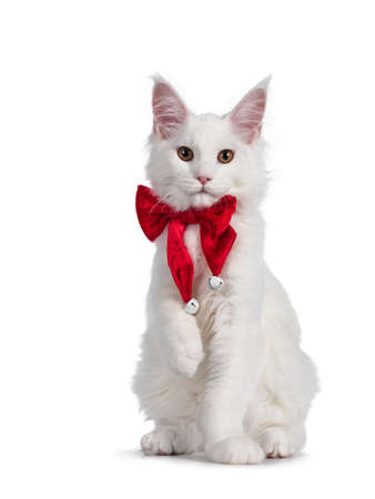 adorable solid white Maine Coon cat kitten, sitting up facing front wearing a red bow tie with bells. Looking towards camera. isolated on white background.