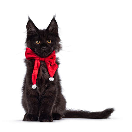 Impressive solid black Maine Coon cat kitten, sitting up facing front. Wearing red velvet bow tie with white bells. Looking towards camera. Isolated on a white background.