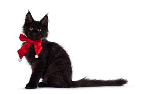 Impressive solid black Maine Coon cat kitten, sitting side ways. Wearing red velvet bow tie with white bells. Looking towards camera. Isolated on a white background.