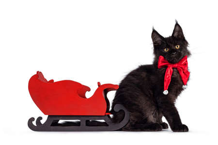 Impressive solid black Maine Coon cat kitten, sitting side ways in front of a wooden santa sleigh. Wearing red velvet bow tie with white bells. Looking towards camera. Isolated on a white background.
