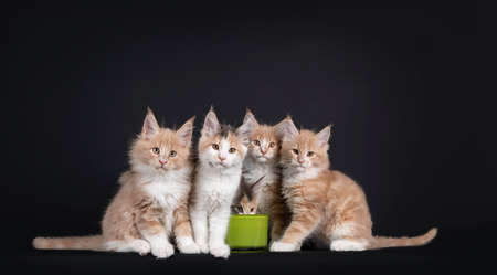 Group of five Fluffy Maine Coon cat kittens, sitting around green drinking bowl. All looking towards camera except one that is drinking. Isolated on black background.