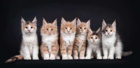 Group of six Fluffy Maine Coon cat kittens, sitting beside each other on a perfect row. All looking towards camera. Isolated on black background. 版權商用圖片