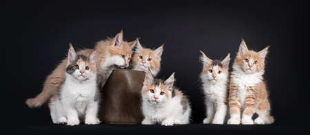 Group of six Fluffy Maine Coon cat kittens, sitting beside each in and beside a leather basket. All looking towards camera. Isolated on black background.