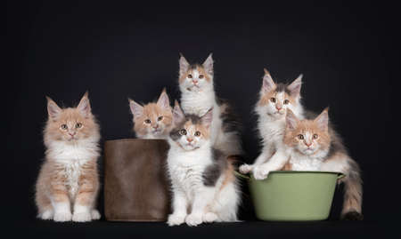 Group of six Fluffy Maine Coon cat kittens, laying, sitting and standing in or beside objects. All looking towards camera. Isolated on black background.