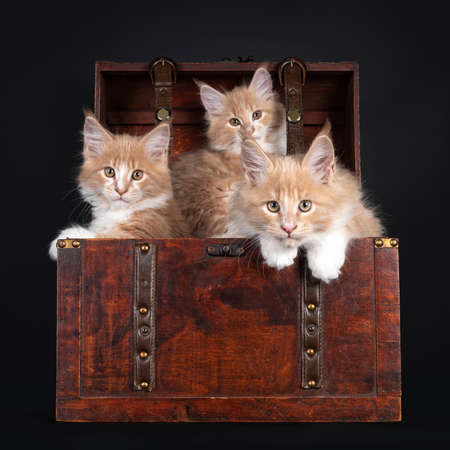 Three creme with white Maine Coon cat kittens, sitting in a wooden jewelery box. Looking towards camera. Isolated on black background.