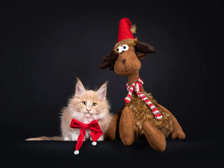 Cute creme with white Maine Coon cat kitten, laying down beside toy reindeer. Wearing red velvet bow tie. Looking towards camera. Isolated on black background.