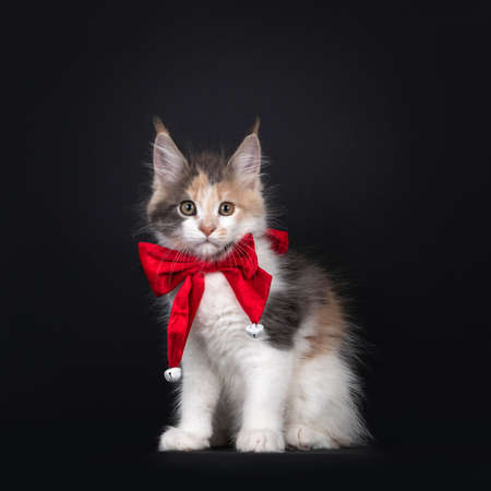 Adorable tortie with white Maine Coon cat kitten, sitting facing front wearing a red ribbon around neck. Looking towards camera. Isolated on black background.