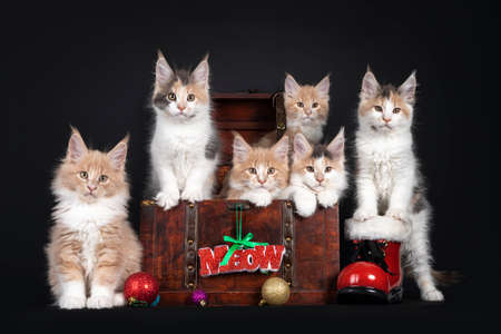 Litter of six Maine Coon cat kittens, sitting in and around wooden crate with Christmas decorations. Isolated on black background. 版權商用圖片