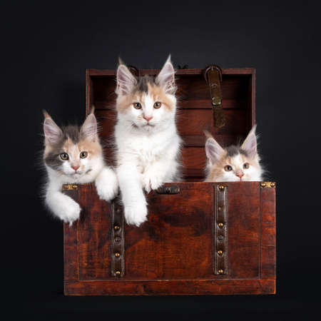 Three tortie with white Maine Coon cat kittens, sitting in a wooden jewelery box. Looking towards camera. Isolated on black background. 版權商用圖片
