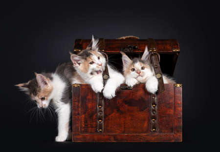 Three nayghty Maine Coon cat kittens, playing in a wooden jewelery box. Isolated on black background. 版權商用圖片