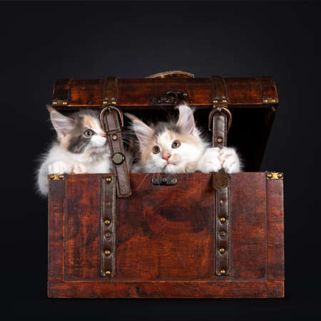 Duo nauhgty tortie with white Maine Coon cat kittens, sitting in a wooden jewelery box. Looking towards camera. Isolated on black background. 版權商用圖片