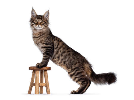 Cute brown tabby Maine Coon cat kitten, standing with front paws on little wooden stool. Looking towards camera. Isolated on white background.