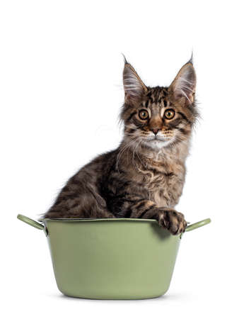 Cute brown tabby Maine Coon cat kitten, sitting in green bucket. Looking beside camera. Isolated on white background.