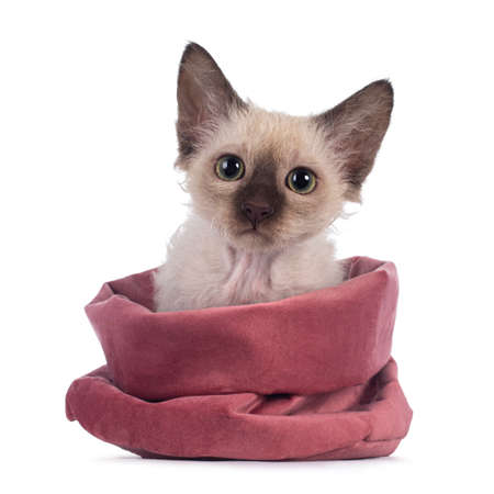 Pretty Chocolate Tonkinese Pointed LaPerm cat kitten, sitting in pink velvet bag. Looking towards camera with green eyes. Isolated on white background.