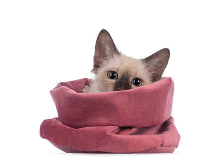 Pretty Chocolate Tonkinese Pointed LaPerm cat kitten, hiding and looking over edge of pink velvet bag. Looking towards camera with green eyes. Isolated on white background.