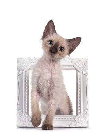 Pretty Chocolate Tonkinese Pointed LaPerm cat kitten, standing through white picture frame. Looking towards camera with green eyes. Isolated on white background.