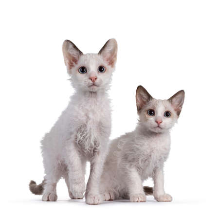 Two cute LaPerm cat kittens, sitting and standing together. Looking beside lens with blue eyes. Isolated on white background.