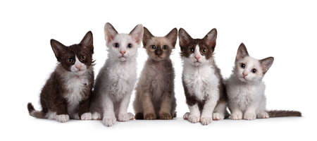 Group of 5 LaPerm cat kittens sitting beside each other on a perfect row. All looking curious towards camera. Isolated on white background. 스톡 콘텐츠