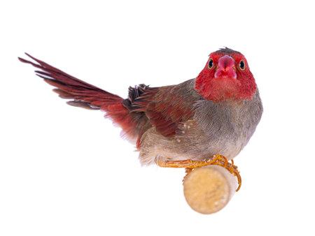 Female White bellied Crimson Finch aka Neochmia phaeton evangelinae bird. Sitting on wooden branch, loking towards camera showing both eyes. Isolated on white background.