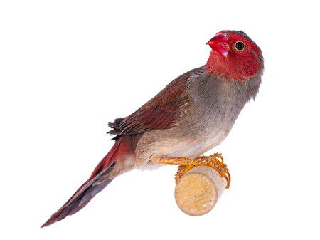 Female White bellied Crimson Finch aka Neochmia phaeton evangelinae bird. Sitting on wooden branch. Isolated on white background.